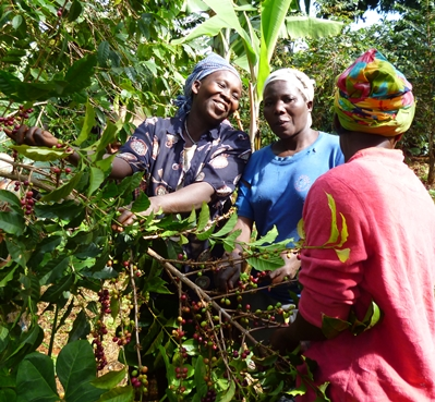 women picking coffee in Uganda